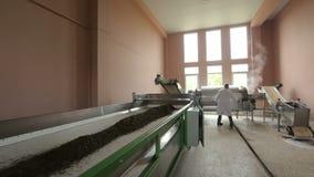 Wysuszeni liście herbata wolno iść puszka konwejer, produkci technologia, eksport zdjęcie wideo