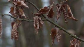 Wysuszeni liście na drzewie zdjęcie wideo