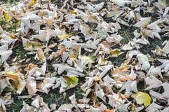 Wysuszeni liście klonowi na trawie Fotografia Royalty Free