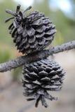 Wysuszeni Pinecone bliźniacy Zdjęcia Stock