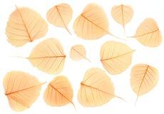 Wysuszeni przejrzyści liście odizolowywający na białym tle obraz stock