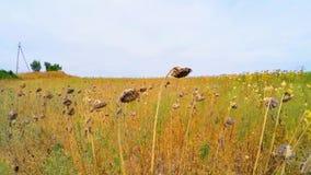 Wysuszeni słoneczniki W trawie W Rolniczym polu zbiory wideo
