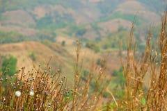 Wysuszeni trawa kwiaty Zdjęcia Stock