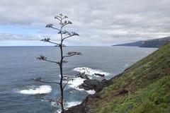 Wysuszona agawa kwiatostanu agawa americana z wybrzeże linią i Obrazy Royalty Free