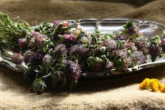 Wysuszona czerwona koniczyna Trifolium pratense zdjęcia royalty free