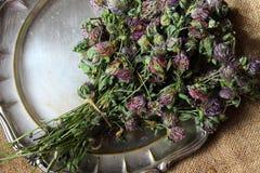 Wysuszona czerwona koniczyna Trifolium pratense zdjęcia stock