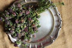 Wysuszona czerwona koniczyna Trifolium pratense zdjęcie royalty free