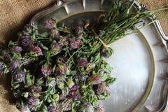 Wysuszona czerwona koniczyna Trifolium pratense fotografia royalty free