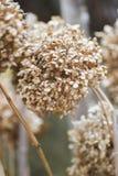 Wysuszona hortensja w ogródzie w opóźnionej jesieni obrazy stock