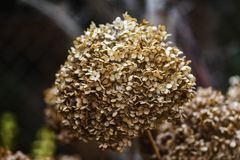 Wysuszona hortensja w ogródzie w opóźnionej jesieni obrazy royalty free
