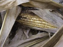 Wysuszona jesieni kukurudza Zdjęcie Royalty Free