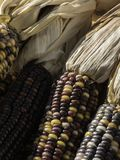 Wysuszona jesieni kukurudza Fotografia Royalty Free