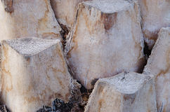 Wysuszona korowata palma wciąż stoi Obraz Stock