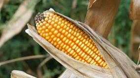 Wysuszona kukurudza na polu Żółty dojrzały kukurydzany dorośnięcie na badylu w na wolnym powietrzu zakończeniu w górę widoku zdjęcie wideo