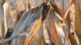 Wysuszona kukurudza na polu Dojrzały kukurydzany dorośnięcie na badylu w na wolnym powietrzu zakończeniu w górę widoku zbiory wideo
