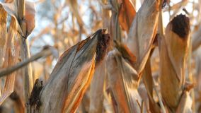 Wysuszona kukurudza na polu Dojrzały kukurydzany dorośnięcie na badylu w na wolnym powietrzu zakończeniu w górę widoku zdjęcie wideo