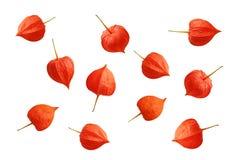 Wysuszona kwiat pęcherzyca zdjęcie stock