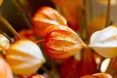 Wysuszona kwiat pęcherzyca na zamazanym tle Fotografia Royalty Free
