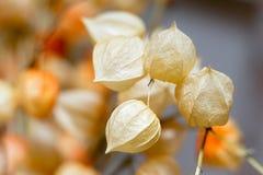 Wysuszona kwiat pęcherzyca na zamazanym tle Obraz Royalty Free