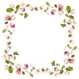 Wysuszona menchii róży kwiatów rama Zdjęcie Royalty Free