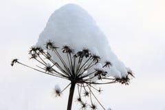 Wysuszona roślina pod śnieżną nakrętką zdjęcia stock