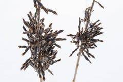 Wysuszona rośliny krowy wyka w zimie, zakończenie abstrakta tło Obrazy Stock