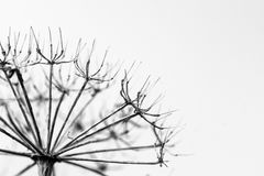 Wysuszona rośliny sylwetka z przestrzenią dla teksta Zdjęcia Stock