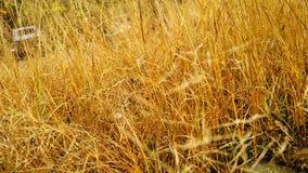 Wysuszona trawa obrazy stock