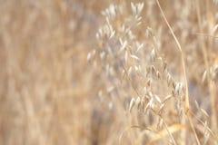 Wysuszona trawa w polu, Wiktoria, BC zdjęcia stock