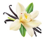 Wysuszona wanilia wtyka i storczykowy waniliowy kwiat Kartoteka zawiera ścinek ścieżkę zdjęcie royalty free