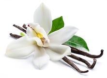 Wysuszona wanilia wtyka i storczykowy waniliowy kwiat odizolowywający na białym tle fotografia stock