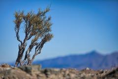 Wysuszona ziemia z barwiarskim drzewem Fotografia Royalty Free