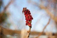Wysuszone czerwone jagody na gałąź Zdjęcie Stock