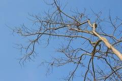 Wysuszone gałąź drzewo Zdjęcie Royalty Free
