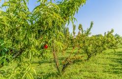 Wysuszone owoc na barwiarskim brzoskwini drzewie wśród zdrowych ones Zdjęcia Stock