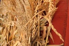 Wysuszone Pszeniczne i Kukurydzane plewy zdjęcia stock