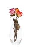 wysuszone róże Zdjęcie Stock