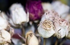 wysuszone róże Fotografia Royalty Free