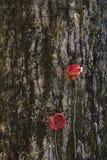 Wysuszone róże Zdjęcia Royalty Free