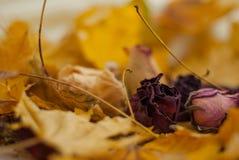 Wysuszone róże Obraz Stock