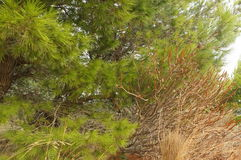Wysuszone trawy i bogactwa zielone igły sosny Zdjęcie Royalty Free