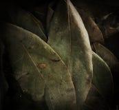 Wysuszonego laurowego liścia horyzontalny tło Zdjęcia Royalty Free