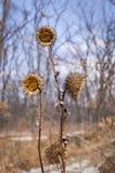 Wysuszony agrimony w zima lesie Trzy Obrazy Stock