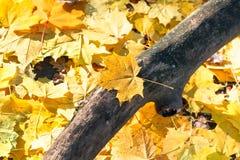 Wysuszony bagażnika i koloru żółtego liścia klonowego ściółki zakończenie up Fotografia Royalty Free