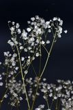 Wysuszony dekoracyjny biały pospolity łyszczec paniculata kwiatu ziele bukiet zdjęcia stock