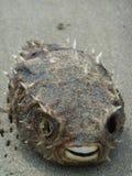 Wysuszony kościec ryba fotografia stock