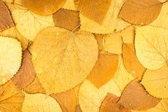 Wysuszony kolor żółty, pomarańcze i czerwoni bukowego drzewa liście, jesieni backgroun Fotografia Stock