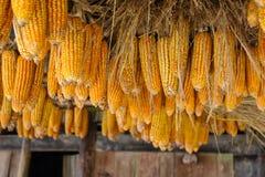 Wysuszony kukurydzanego cob obwieszenie na bambusie Zdjęcie Stock