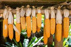 Wysuszony kukurydzany obwieszenie na drewnianym poręczu Zdjęcie Royalty Free