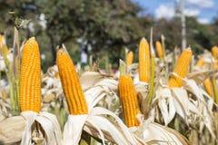 Wysuszony kukurydzany pole w Tajlandia, pogodny plenerowy dnia światło Zdjęcie Royalty Free